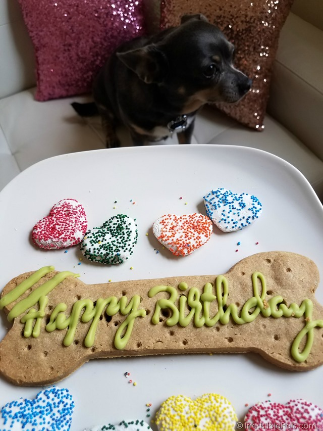 Chuy Chihuahua Birthday 2017 (8)