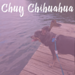 Chuy Chihuahua at Oak Grove Lake Park