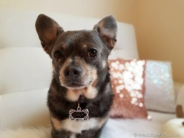 Chuy Chihuahua Hello Fall (10)