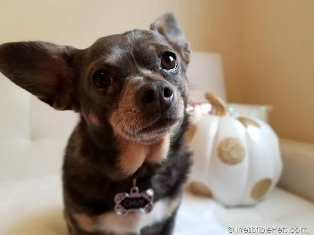 Chuy Chihuahua Hello Fall (11)