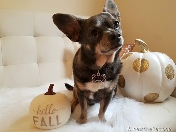 Chuy Chihuahua Hello Fall (1)