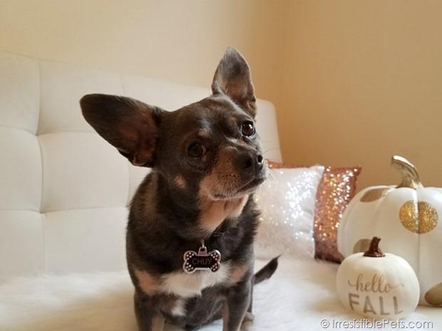 Chuy Chihuahua Hello Fall (5)