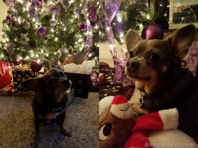Chuy Chihuahua Christmas Gifts