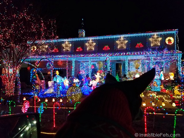 Chuy Chihuahua Christmas Lights