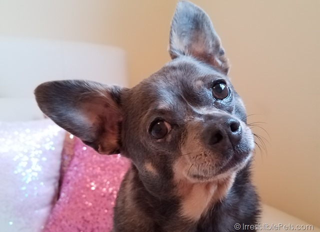 Chihuahua Dermatitis Cured (2)