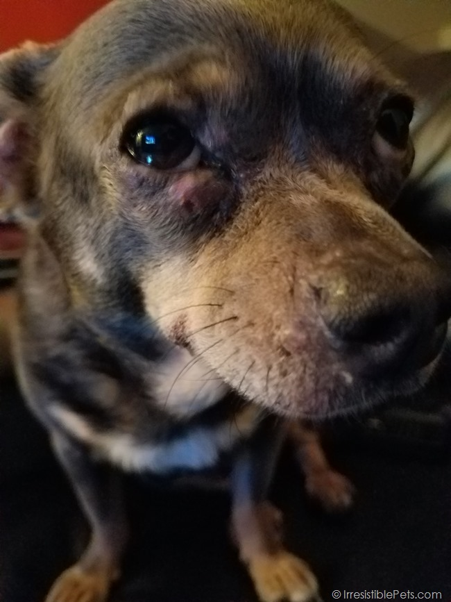 Chihuahua Skin Infection Eye Swollen