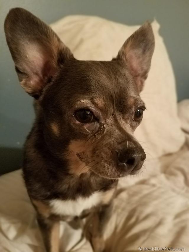 Chihuahua Skin Lesions