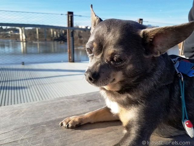 Chuy Chihuahua Belle Isle Adventure (17)