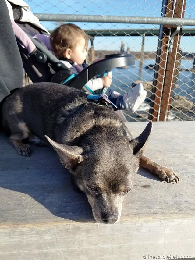 Chuy Chihuahua Belle Isle Adventure (19)