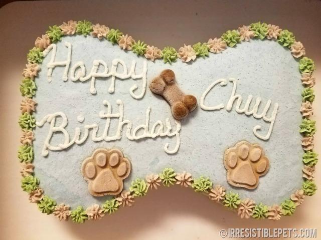 Chuy Chihuahua 9th Birthday 1