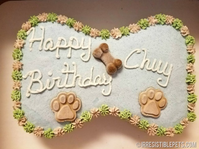 Chuy Chihuahua 9th Birthday (1)