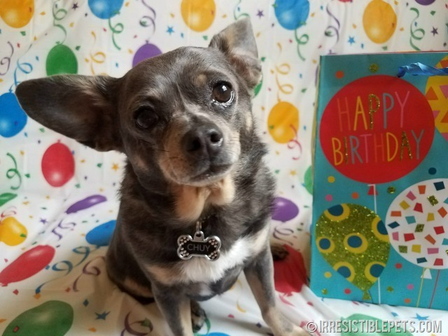 Chuy Chihuahua 9th Birthday (2)