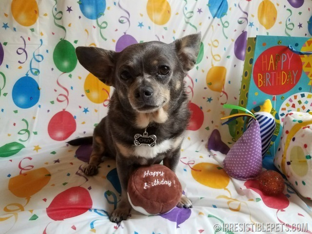 Chuy Chihuahua 9th Birthday (4)