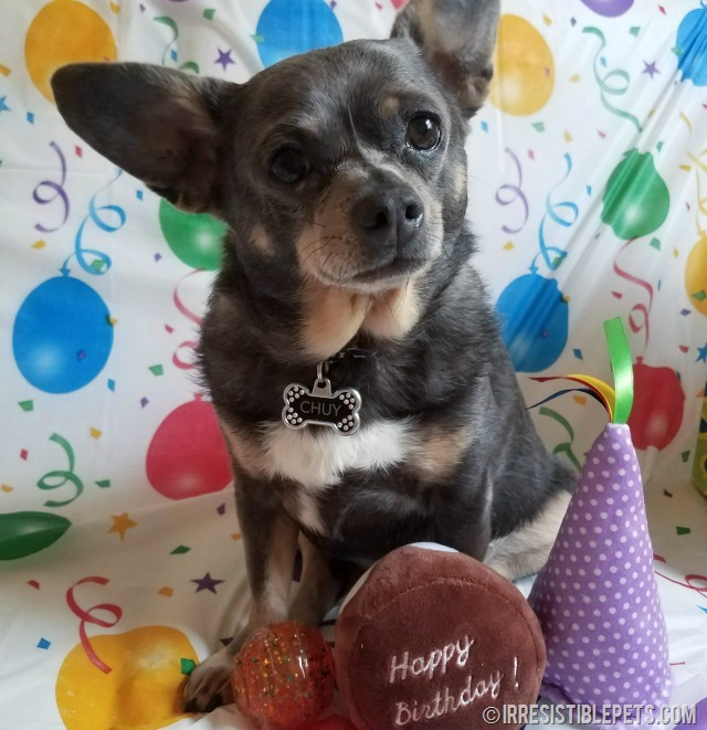 Chuy Chihuahua 9th Birthday (7)