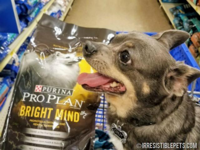 Chuy Chihuahua Purina Pro Plan