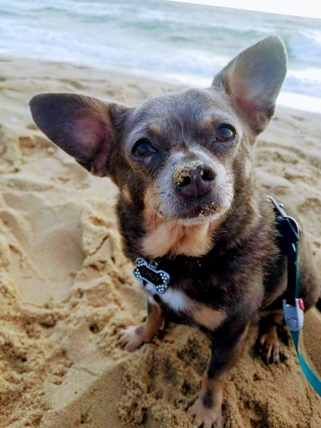 Dog Friendly Nags Head Chuy Chihuahua on Beach