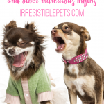 Chihuahuas are Ugly and Other Ridiculous Myths