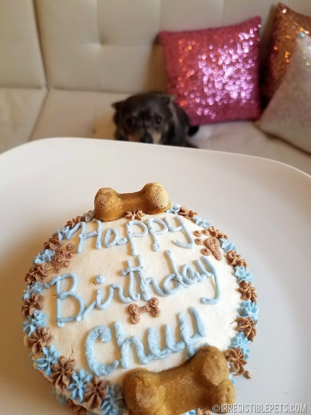Chuy Chihuahua 10th Birthday (6)