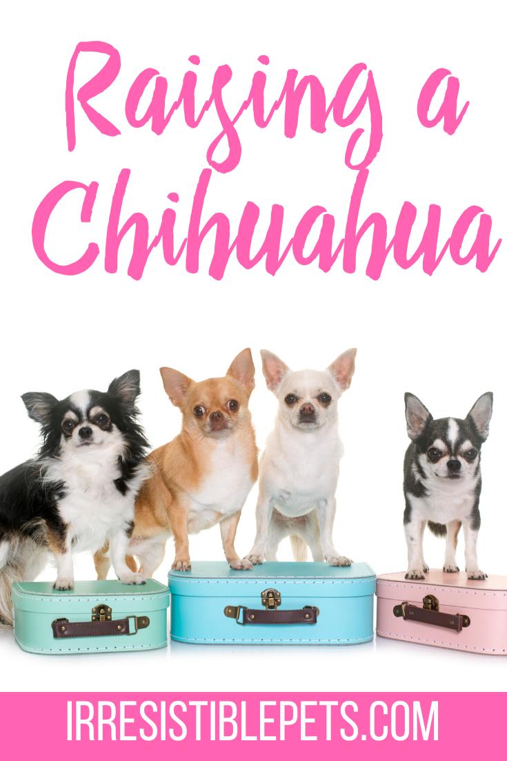 Raising a Chihuahua