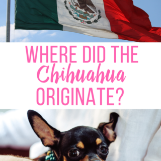Where Did the Chihuahua Originate