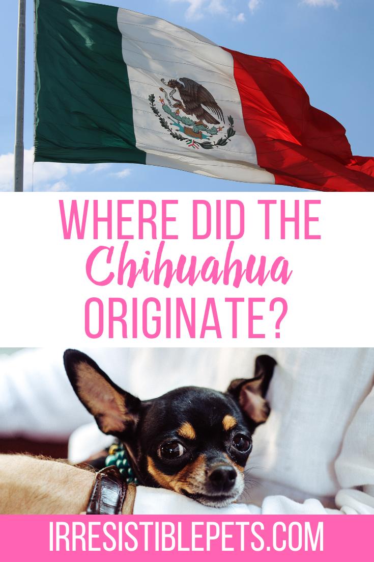 Where Did the Chihuahua Originate